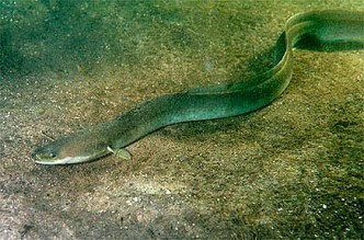 "Europäischer Aal ""Anguilla anguilla"". (Bild lizenziert unter Creative Commons Attribution-Share Alike 3.0 über Wikimedia Commons)"