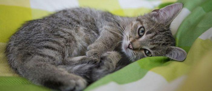 """Haustiere suchen die Nähe zum Menschen. Vor allem auf Katzen übt das Bett des """"Herrchens"""" oder """"Frauchens"""" eine magische Anziehungskraft aus. Doch Flöhe haben im Bett nichts verloren. (Foto: Bundesverband für Tiergesundheit e.V./© Andrea Klostermann)"""